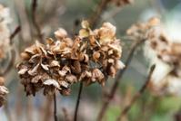 dead flowers of the hydrangea
