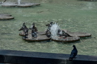 Variegated pigeon or dove bathe