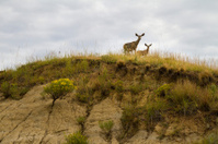 Pair of deer looking down from cliff