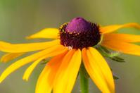 Prairie Flower with White Spider