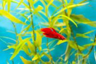 Aquarium cockerel fish