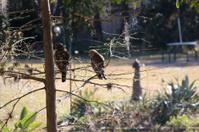 Mr & Mrs Hawk on tree limb.