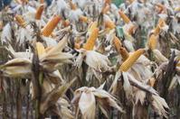 close up corn garden in garden, Thailand