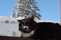 Yawning black and white fluffy cat