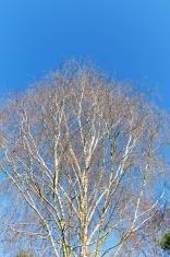 Birch in wintertime