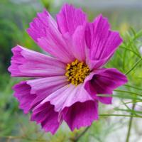 Cosmos flower (Cosmos Bipinnatus) with tubular petals
