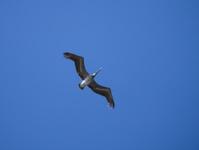 Brown pelican flying in blue sky