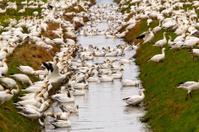 Snow Geese Flock Drinking Skagit County Washington