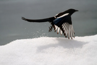 Magpie flying from the snow