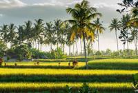 Sunset over rice field