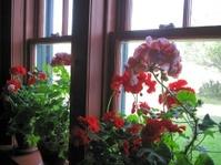 Gerainiums in the window