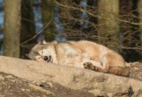 Sweet Wolf Dreams
