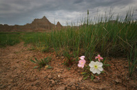 Evening Primrose Flowers in Badlands