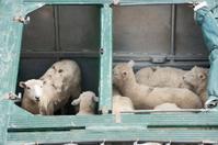 Curious Sheep, Livestock Transportation