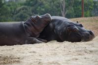 Two hippos basking