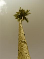 Coconut, cocos nucifera palms