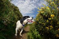 Black and white spaniel dog amongst bushes