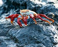 Alert Sally Lightfoot crab, Galapagos Islands