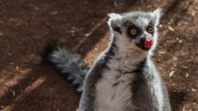 Lemur Licking His Nose