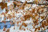 Maple in the autumn