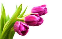 purple colored tulip flowers