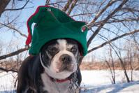 Boston Terrier wearing a Christmas Hat