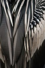 Anhinga feathers close up