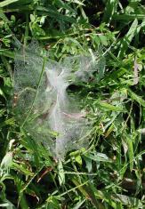 Funnel web (spider) in grass