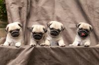 pug puppy pet cute