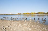 Canada geese - Wascana Lake - Regina Saskatchewan