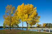 Black ash tree in autumn at Wascana Marina - Regina