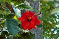 Hibiscus (Hibiscus rosa-sinensis) blossom in Sun City