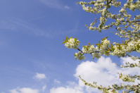 cherry tree in April