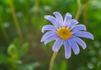 Felicia ameloides flower - blue daisy, blue marguerite