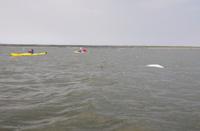 Kayaking with beluga whales in the Hudson Bay
