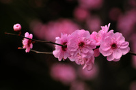 Blossom pink plum