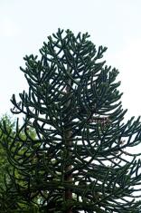 Big araucaria chilensis fir tree