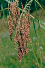 Field of Proso millet, Maharashtra, India