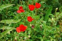 Pompei Poppies