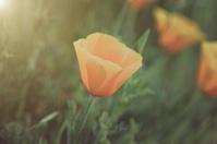 Orange Poppy Close Up