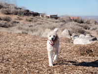 Standard Poodle Puppy Running Happily