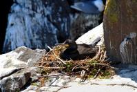 Shag nesting