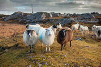 Three friendly Connemara sheep