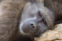 Chacma baboon closeup