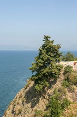 pine tree by hill near marmara sea  mudanya bursa turkey