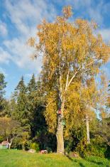 old big autumn time birch in farm