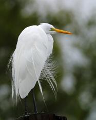 Great Egret in Louisiana.