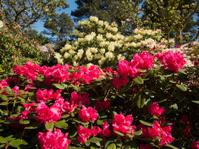 Rhododendron bushes, near Matlock,Derbyshire,Britain