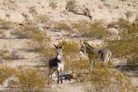 Wild Burros in the Mojave Desert