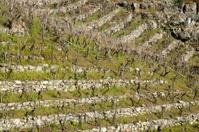 Ribeira Sacra vineyard in terraces in winter.